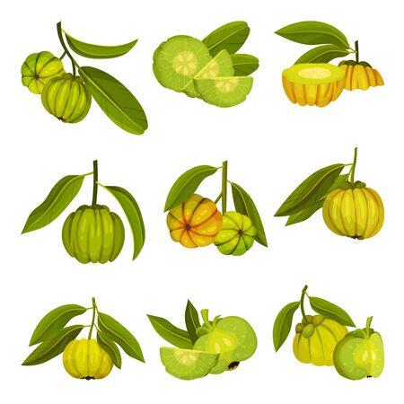 Garcinia Cambogia Fruit Looking Like Small Green Pumpkin Vector Set Vecteurs