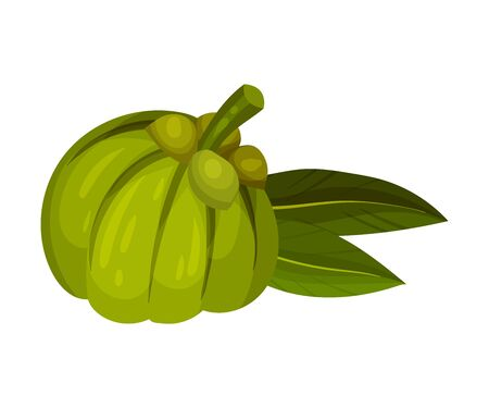 Garcinia Cambogia Fruit with Oblong Green Leaves Vector Illustration