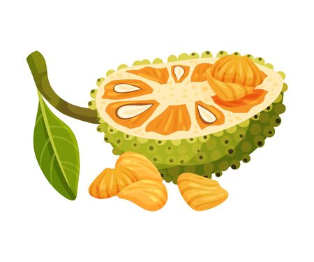 Halved Elliptical Jackfruit with Green Seed Coat and Fibrous Core Vector Illustration Illustration