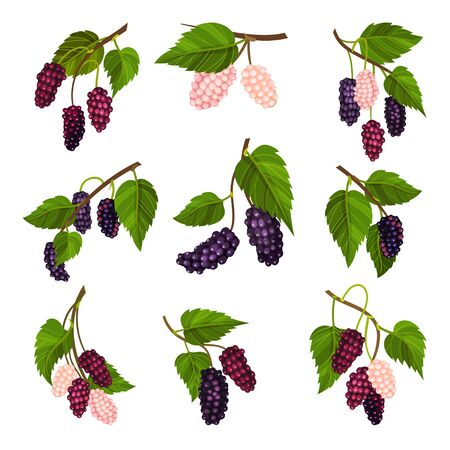 Mulberry Branch with Immature Pink Berries and Ripe Black Ones Vector Set Ilustração