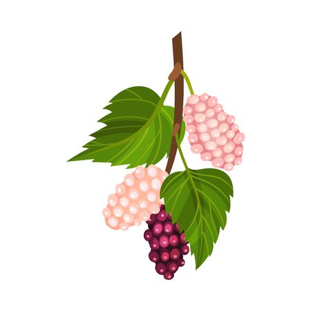 Mulberry Branch with Immature Pink Berries and Red Ones Vector Illustration Ilustração