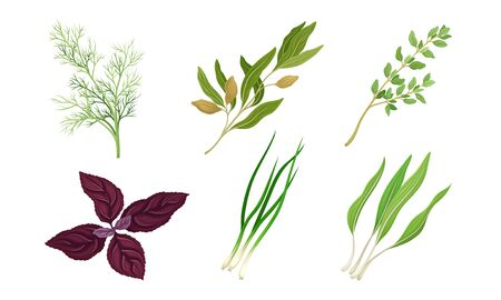 Kitchen Herbs and Condiment with Dill and Basil Vector Set Ilustração
