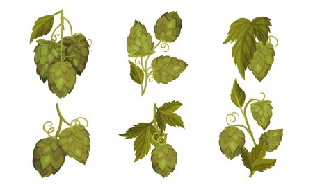 Fresh Hop Plants with Cones and Green Leaves Isolated on White Background Vector Set