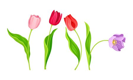 Cup-shaped Tulip Flowers with Bright Actinomorphic Buds on Green Stem with Cauline Leaves Vector Set