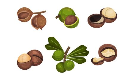 Macadamia Nut or Queensland Nut with Cracked Shell Vector Set
