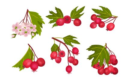 Hawthorn Berry Branches with Red Round Small Pome Fruits Vector Set