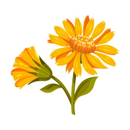 Mountain Arnica or Arnica Montana with Large Yellow Flower Head and Veined Leaves Vector Illustration
