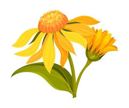 Arnica Yellow or Orange Flower Head with Long Ray Florets on Green Stem Vector Illustration 版權商用圖片 - 148697705