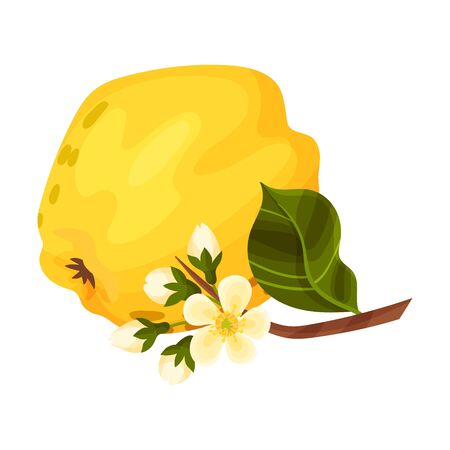 Whole Quince and Blossoming Flower Branch Vector Illustration