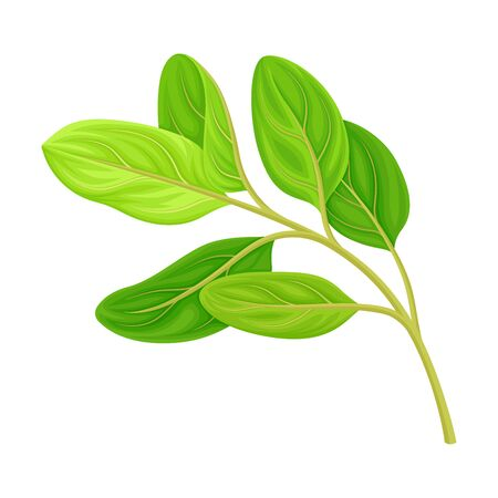 Green Leafy Branch of Sandalwood Isolated on White Background Vector Illustration