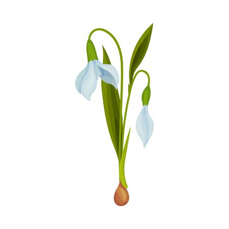 Galanthus or Snowdrop with Linear Leaves and Single Drooping Bell Shaped Flower Vector Illustration Vetores