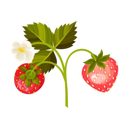 Ripe Strawberry Fruit Hanging on Thin Stalk with Blossoming Flower Vector Illustration