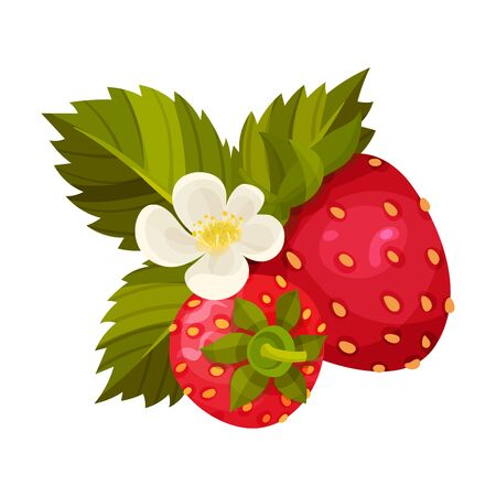 Ripe Strawberry Fruit with Green Leaves and Blossoming Flower Vector Illustration