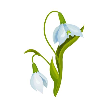 Snowdrop Drooping Flowers on Stem with Linear Leaves Vector Illustration