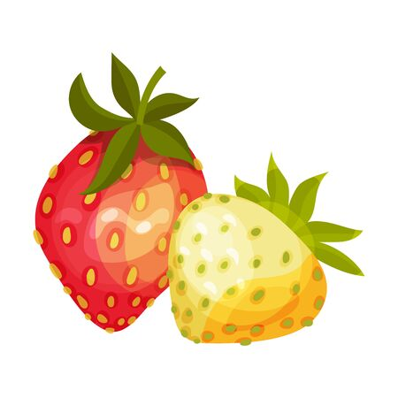 Whole Strawberry Fruit Ripe and Immature with Green Leaves Vector Illustration