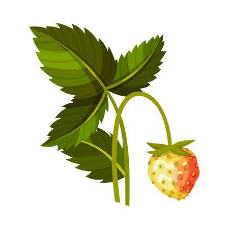 Whole Immature Strawberry Fruit Hanging on Thin Stalk Vector Illustration Illustration