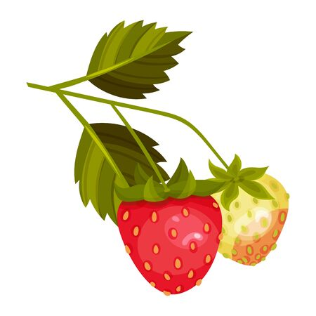 Whole Strawberry Fruit Ripe and Immature with Green Leaves Vector Illustration. Worldwide Cultivated Aromatic Juicy Berry Having Sweet Flavor Illustration