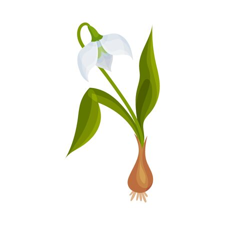 Galanthus or Snowdrop with Linear Leaves and Single Drooping Bell Shaped Flower Vector Illustration