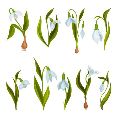 Galanthus or Snowdrop with Linear Leaves and Single White Drooping Bell Shaped Flower Vector Set Illustration