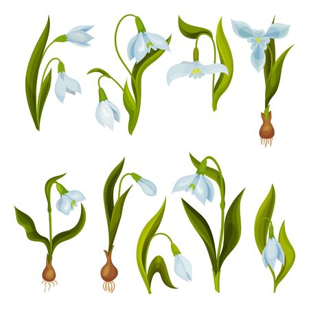 Galanthus or Snowdrop with Linear Leaves and Single White Drooping Bell Shaped Flower Vector Set Ilustração