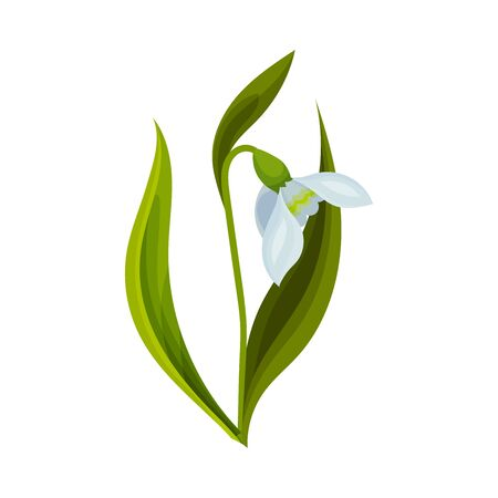 Galanthus or Snowdrop with Linear Leaves and Single Drooping Bell Shaped Flower Vector Illustration Reklamní fotografie - 149588045