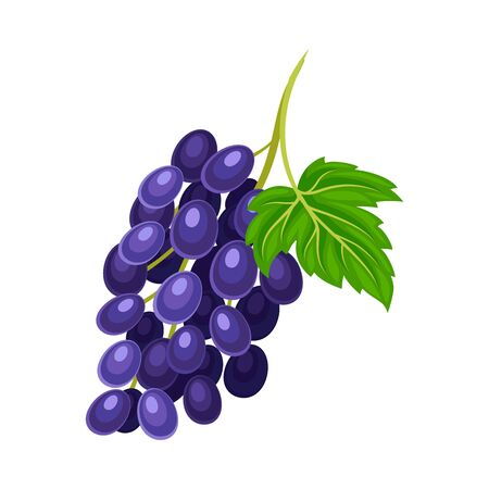 Ripe and Juicy Cluster of Blue Grapes Illustration. Agricultural Crop Cultivation for Wine Production Concept