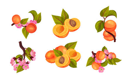 Apricot Drupe Fruit Hanging on Leafy Tree Branch and Halved Vector Set