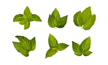 Fresh Green Mint Leaves Isolated on White Background Vector Set