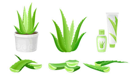 Aloe Vera as Flowering Succulent Plant with Thick Fleshy Leaves Vector Set Çizim