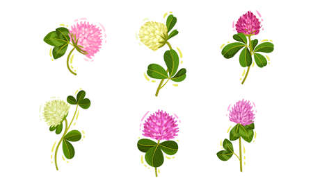Clover or Trifolium Flowering Plant with Trifoliate Leaves and Flower Buds Vector Set 일러스트
