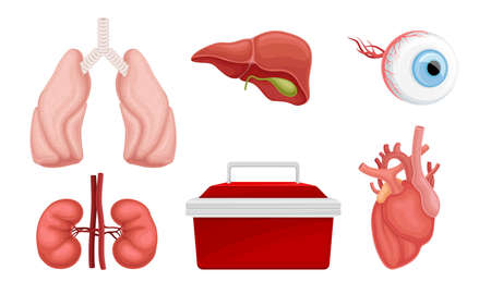 Donor Organs with Cardiac Muscle and Lungs for Transplantation Vector Set Illustration