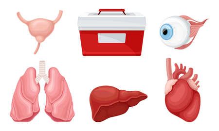 Donor Organs with Liver and Lungs for Transplantation Vector Set Vektoros illusztráció