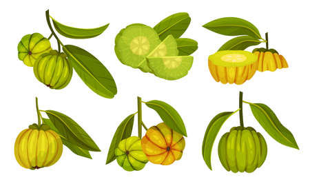 Garcinia Cambogia Fruit Looking Like Small Green Pumpkin Vector Set Illustration