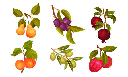 Garden Fruit Branches with Pomegranate and Plum Spur Vector Set