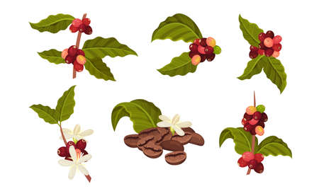 Branches of Coffea Plant with Ripe Edible Fruits Vector Set