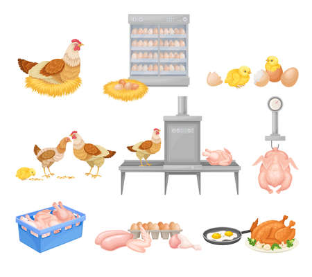 Hen Eggs Incubator and Dressed Chicken Vector Illustration