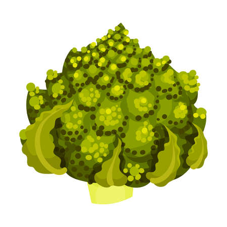 Romanesco Broccoli or Roman Cauliflower as Raw Salad Ingredient Illustration Illustration