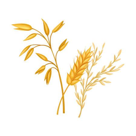 Golden Grain Crop Ear or Grain Head Illustration