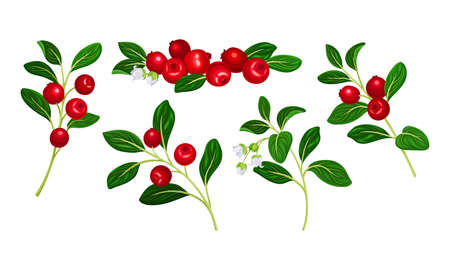 Lingonberry Branches with Oval Leaves Bearing Edible Red Fruit Vector Set