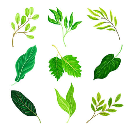 Green Leaves and Foliage with Stem and Veins or Fibers Vector Set