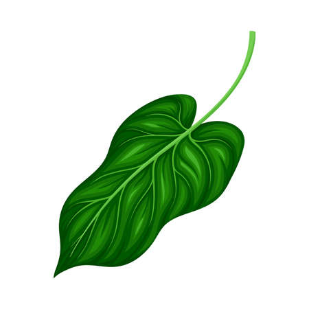 Green Leaf and Foliage with Stem and Veins or Fibers Vector Illustration 向量圖像