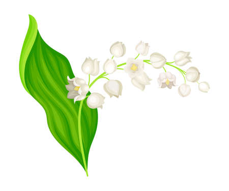 Lily of the Valley with Pendent Bell-shaped White Flowers Vector Illustration Ilustrace
