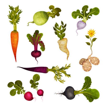Root Vegetables as Underground Plant Part with Carrot and Beet Vector Set