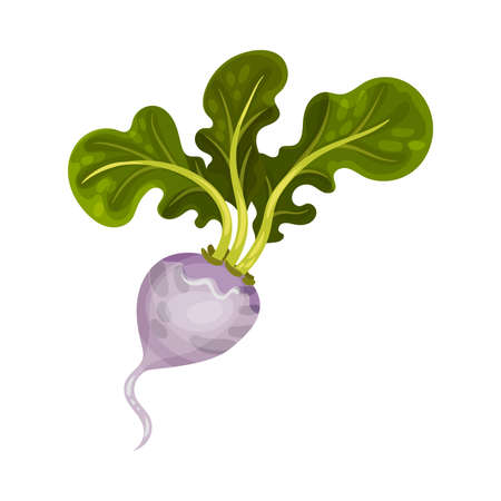 Turnip as Root Vegetable with Underground Plant Part Vector Illustration