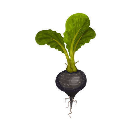 Black Radish as Root Vegetable with Underground Plant Part Vector Illustration