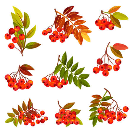 Rowan Branches with Berry Clusters and Pinnate Leaves Vector Set Ilustração