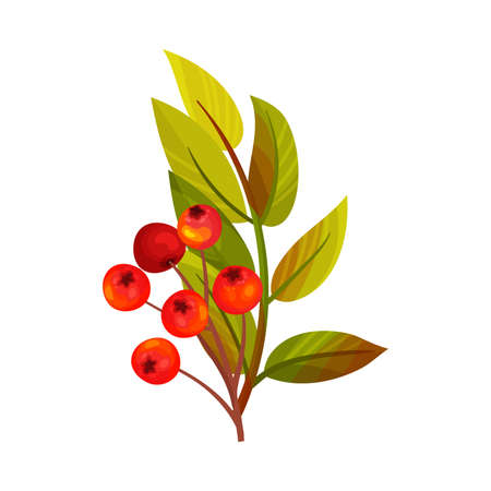 Red Rowan Berries Hanging on Branch with Pinnate Leaves Vector Illustration