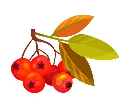 Red Rowan Berries Hanging on Branch with Pinnate Leaves Vector Illustration Ilustração