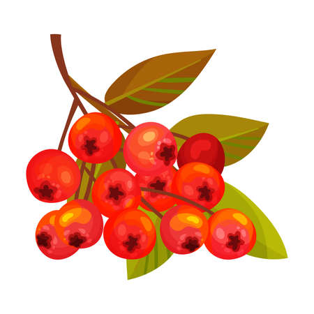 Rowan Berry Cluster Hanging on Tree Branch with Pinnate Leaves Vector Illustration