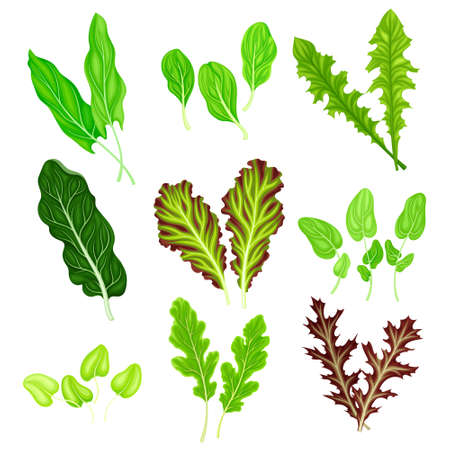 Salad Leaves with Rocket Salad and Spinach Vector Set Stock fotó - 153292648